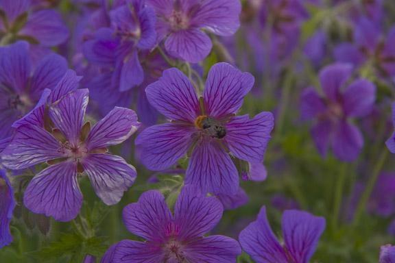 Blomsten og bien. Geranier ved grønt område på Frederiksværksgade i Hillerød. Fotograf: Susanne Randers