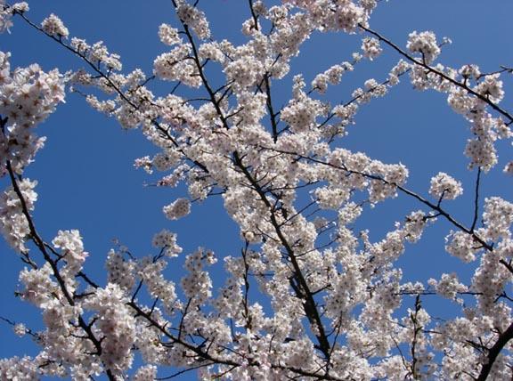 Forårsgrene og blå himmel i april. Fotograf: Susanne Randers