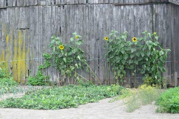 Solsikker op af en gammel slidt lade et sted på Fyn. Fotograf: Susanne Randers