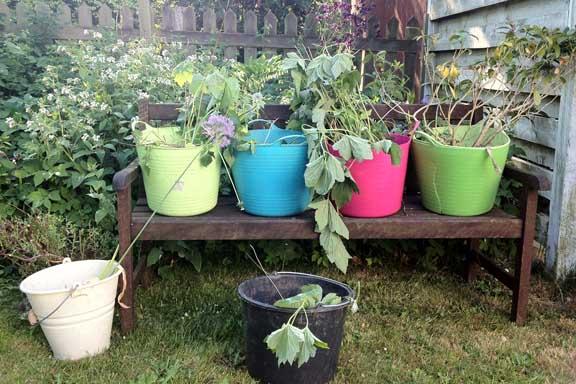 Stilleben i det grønne. Fra min have i 2012 - med opgravede stauder i farvestrålende baljer. Fotograf: Susanne Randers