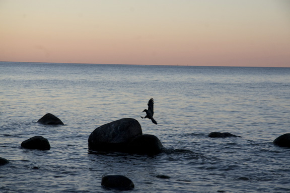 Møns klint - fugl lander på sten i solnedgangen. Fotograf: Susanne Randers