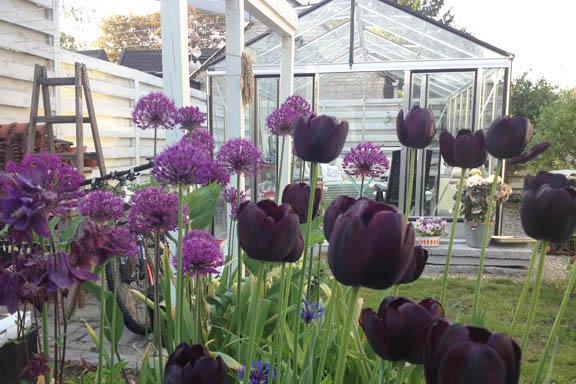 Drivhuset en aftenstund set fra det lilla højbed med alium, akelejer og tulipaner. Fotograf: Susanne Randers