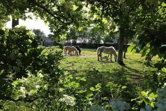 Græssende heste i romantisk sollys midt på Læsø. Fotograf: Susanne Randers